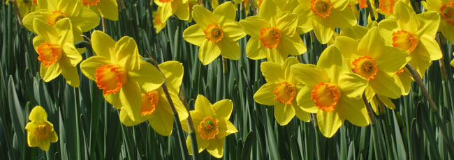 gele-narcissen-yellow-narcissus-daffodils