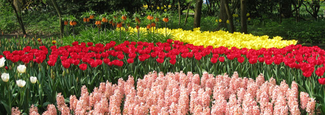 rode-gele-tulpen-roze-haycinthen-red-yellow-tulips-pink-hyacinths