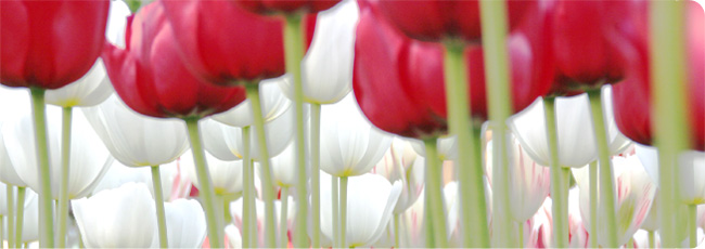 witte-rode-tulpen-white-red-tulips